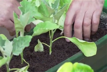 איך שותלים גינת ירק על אדן החלון?